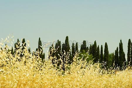 crop in a field siena province