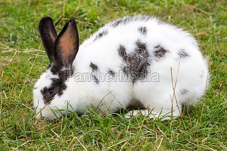 white spotted rabbit