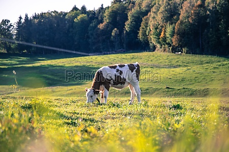 organic farming in germany cow is
