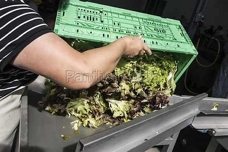 washing lettuce after harvesting on a