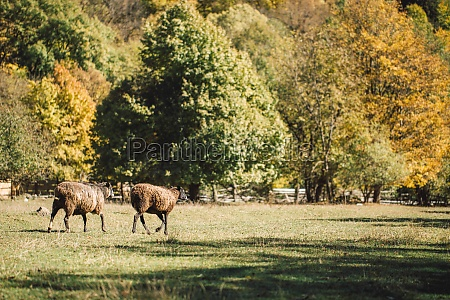 small flock of sheep on a