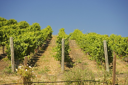 vineyard on a rolling landscape