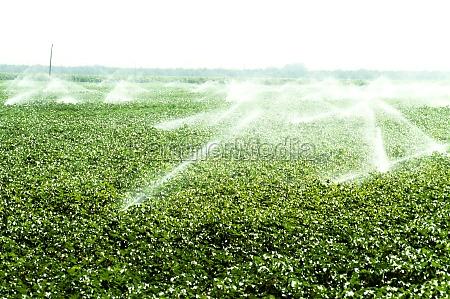 irrigation of cotton