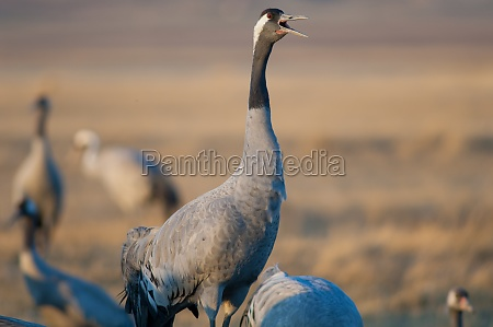 common crane grus grus calling in