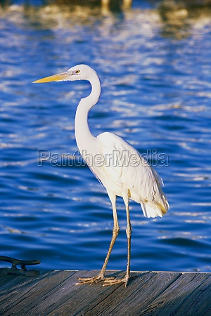 side profile of an egret perching