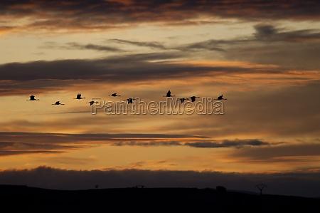 common cranes grus grus in flight