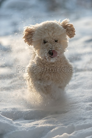 apricot miniature poodle runs in the