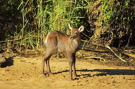 waterbuck kobus ellipsiprymnus calf in a