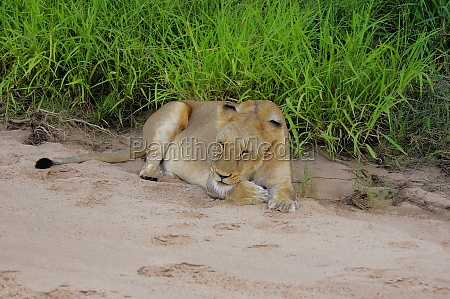 lioness panthera leo sleeping in dry