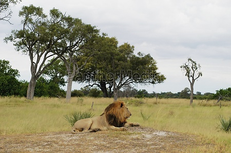 lion panthera leo resting in a