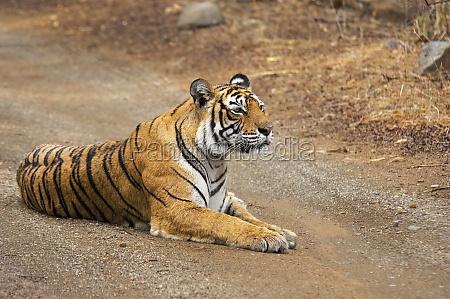 tigress panthera tigris sitting on the