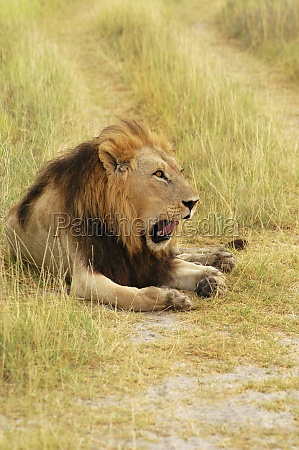 lion panthera leo sitting in a