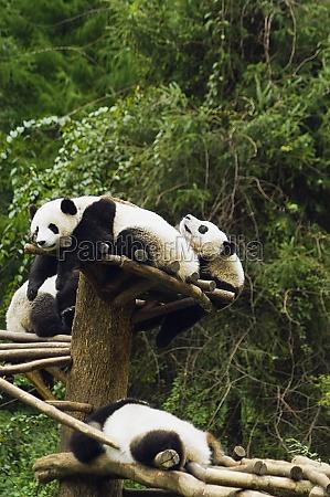 four pandas ailuropoda melanoleuca resting in