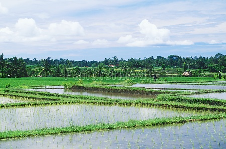 panoramic view of a rice paddy