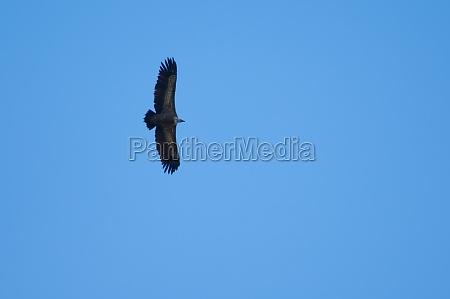 griffon vulture gyps fulvus soaring in