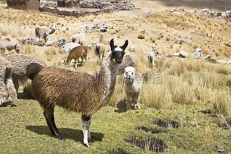 llamas lama glama with alpacas lama
