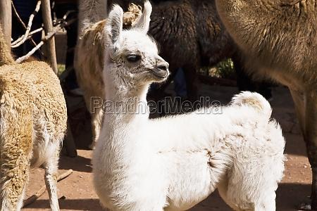 close up of alpacas aguanacancha peru
