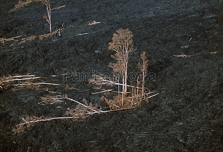 trees killed by encroaching lava flow