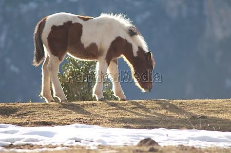 pony equus ferus caballus grazing in