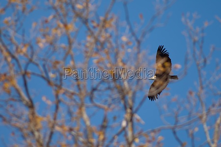 griffon vulture gyps fulvus in flight