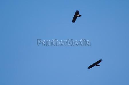 juvenile bearded vultures gypaetus barbatus in