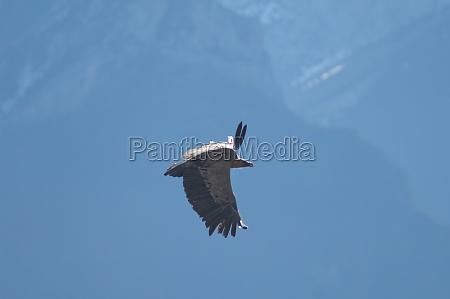 griffon vulture gyps fulvus flying in