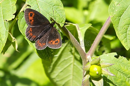 woodland ringlet in the gesaeuse national
