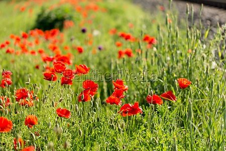 large field with beautiful red poppies
