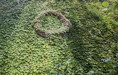 green ivy plants clings to the