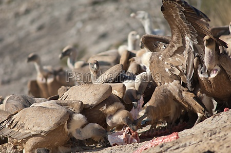 griffon vultures gyps fulvus eating in