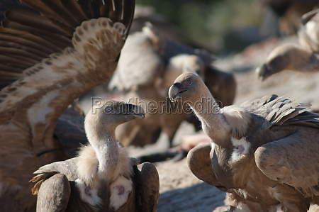 griffon vultures gyps fulvus in the