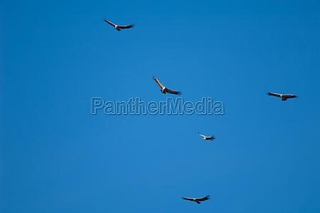 griffon vultures gyps fulvus in flight