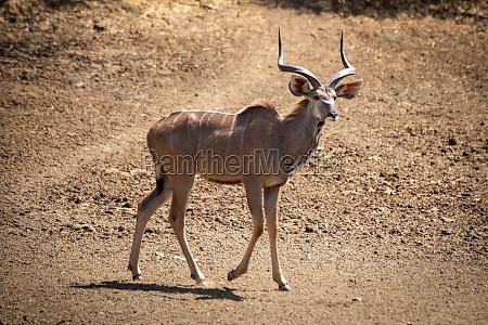 male greater kudu walking down rocky