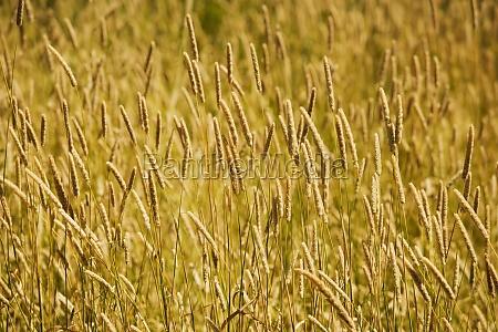 wheat crops in a field
