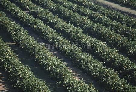 aerial of orange groves florida