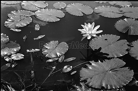 lily flower and floating leaves