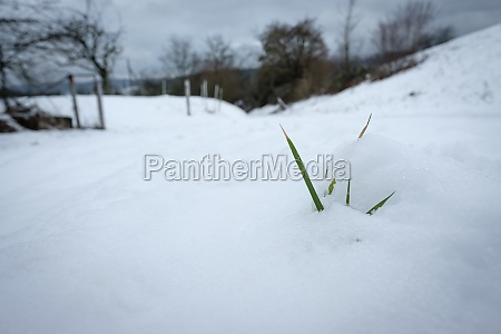 green grass leaves in winter snow
