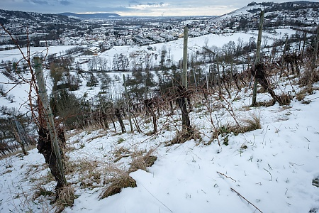 vines in vineyard with winter snow