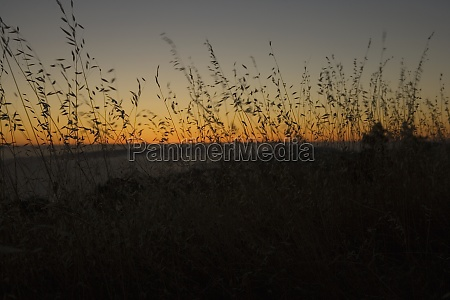 silhouette of tall grasses at dusk