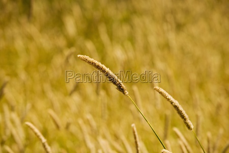 close up of wheat crops in