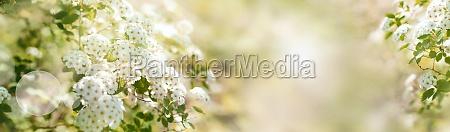 blooming shrub in spring