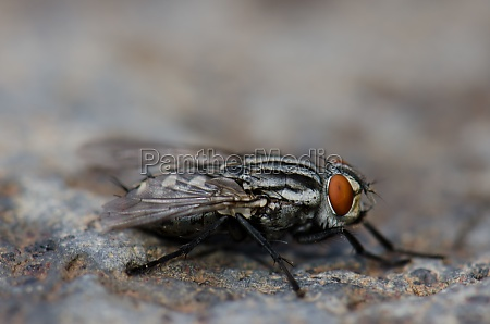 common flesh fly sarcophaga carnaria on