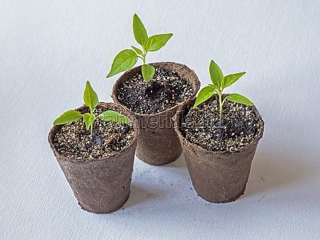 chilli pepper seedlings variety basket of