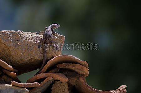 young gran canaria giant lizard gallotia