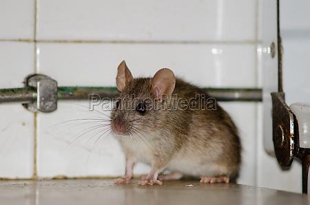 black rat rattus rattus in a
