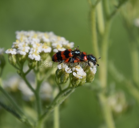 mating of red beetles on white