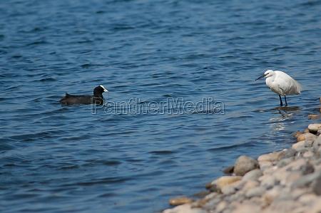 little egret and eurasian coot