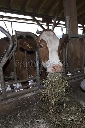 farmer feeding cows with hay