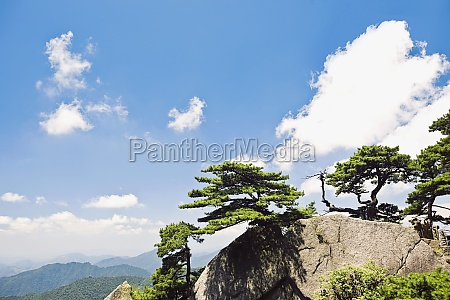trees on a mountain huangshan anhui