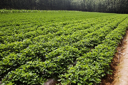 potato crop in a field zhigou